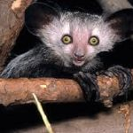 All You Need To Know About The Aye-Aye
