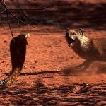 Mongooses Vs Snakes