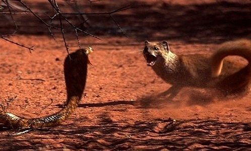 The Famous Mortal Enemies: Mongooses Versus Snakes