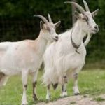 information about goats