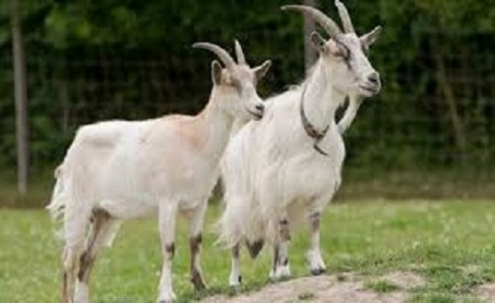 What You Need To Know About Goats